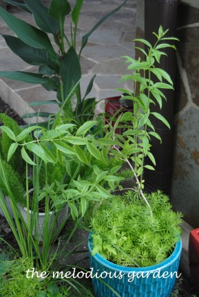 lemon verbena in pot