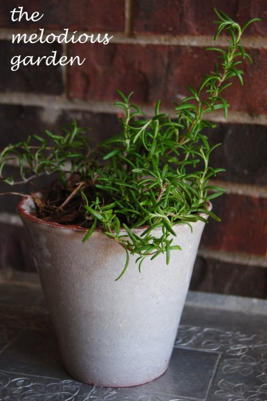 trailing rosemary in pot