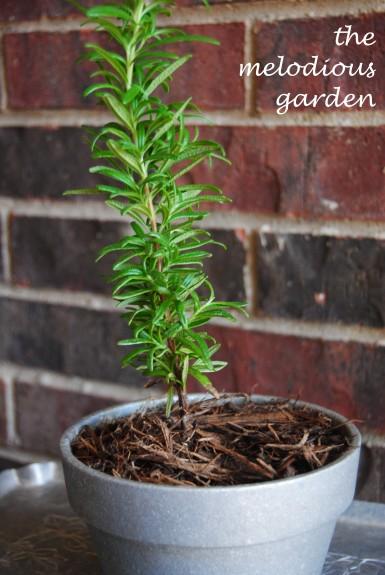upright rosemary in pot