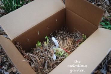 daylily box2