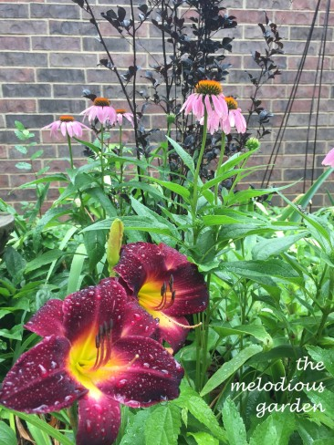 daylily coneflower crepe