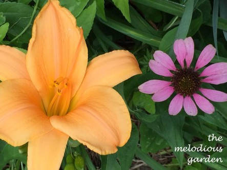 daylily with coneflower