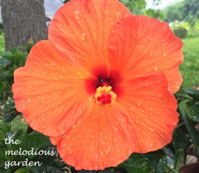 orange tropical hibiscus