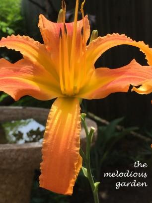 orangedaylily