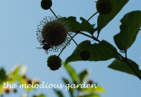 buttonbushbee