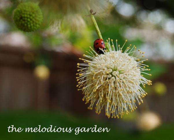 buttonbushladybug