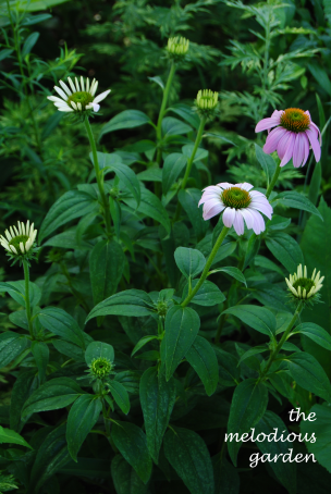coneflower june 1 2