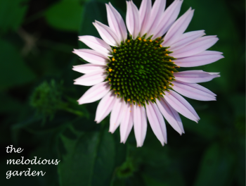 coneflower june 1 4