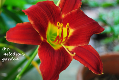 daylily june 1 5