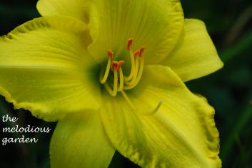 daylily june 1 6