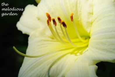 daylily june 1 7