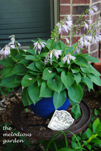 hosta in container