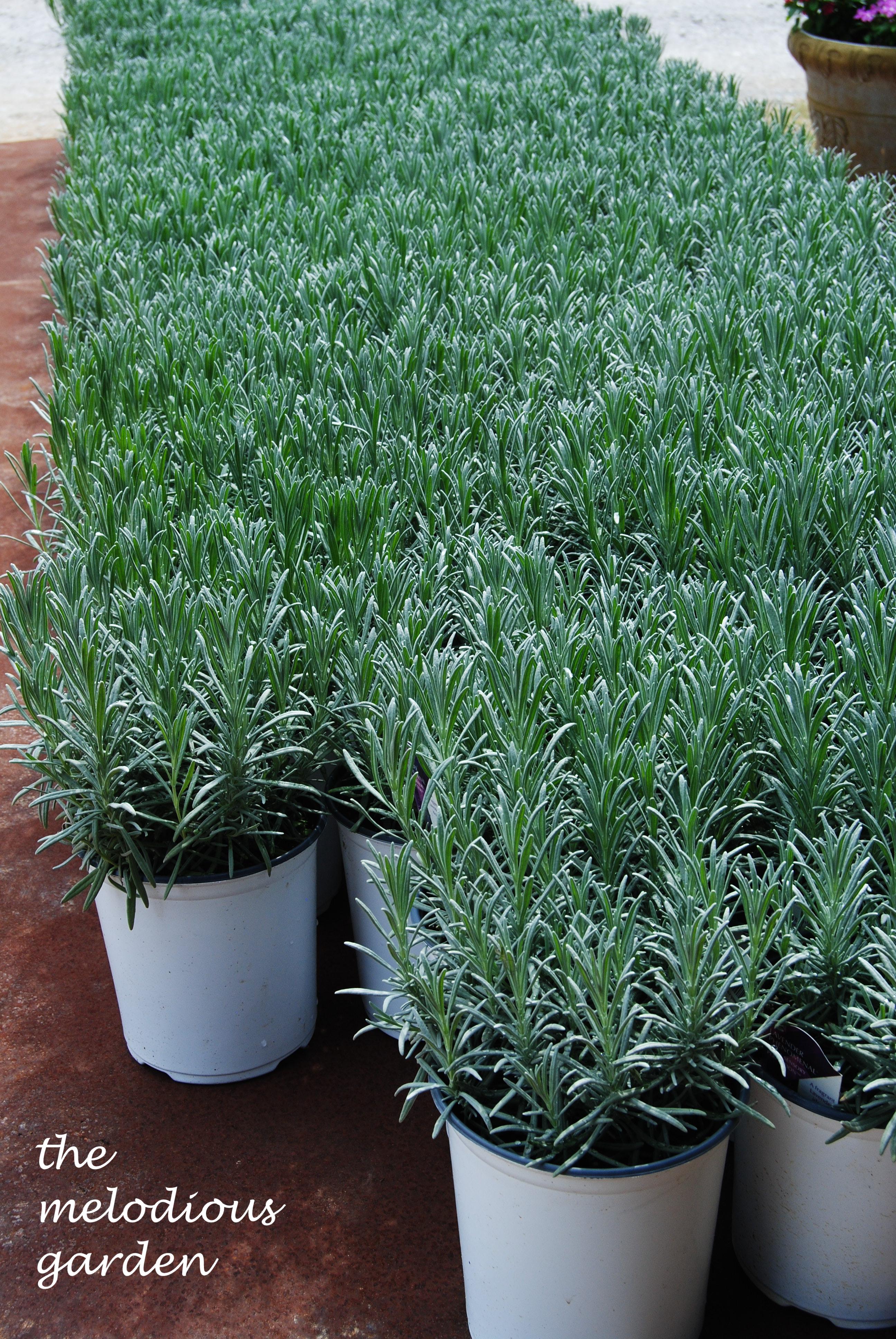 lavenderfarm2