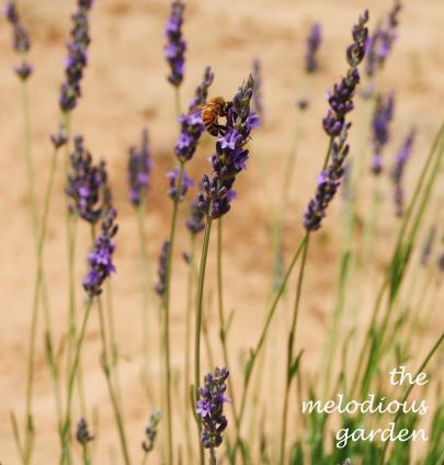 lavenderfarm7
