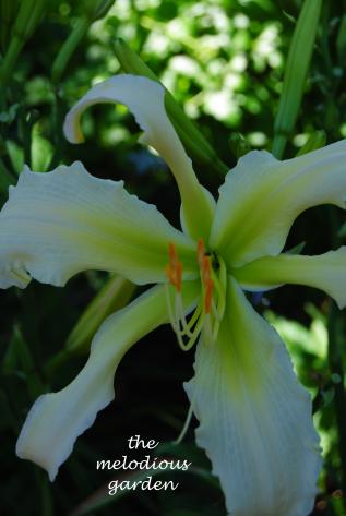 summer 2 daylily