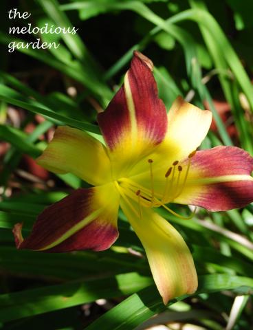 summer 3 daylily
