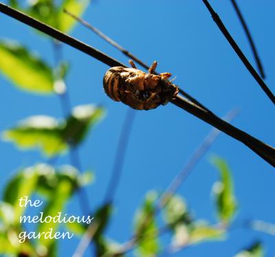 summer cicada molt