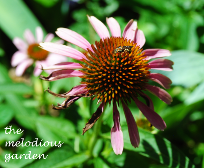 summer coneflower with bee