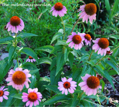 summer coneflower