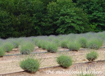 lavenderfarm18