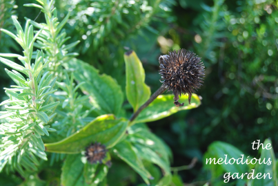 coneflower seed1