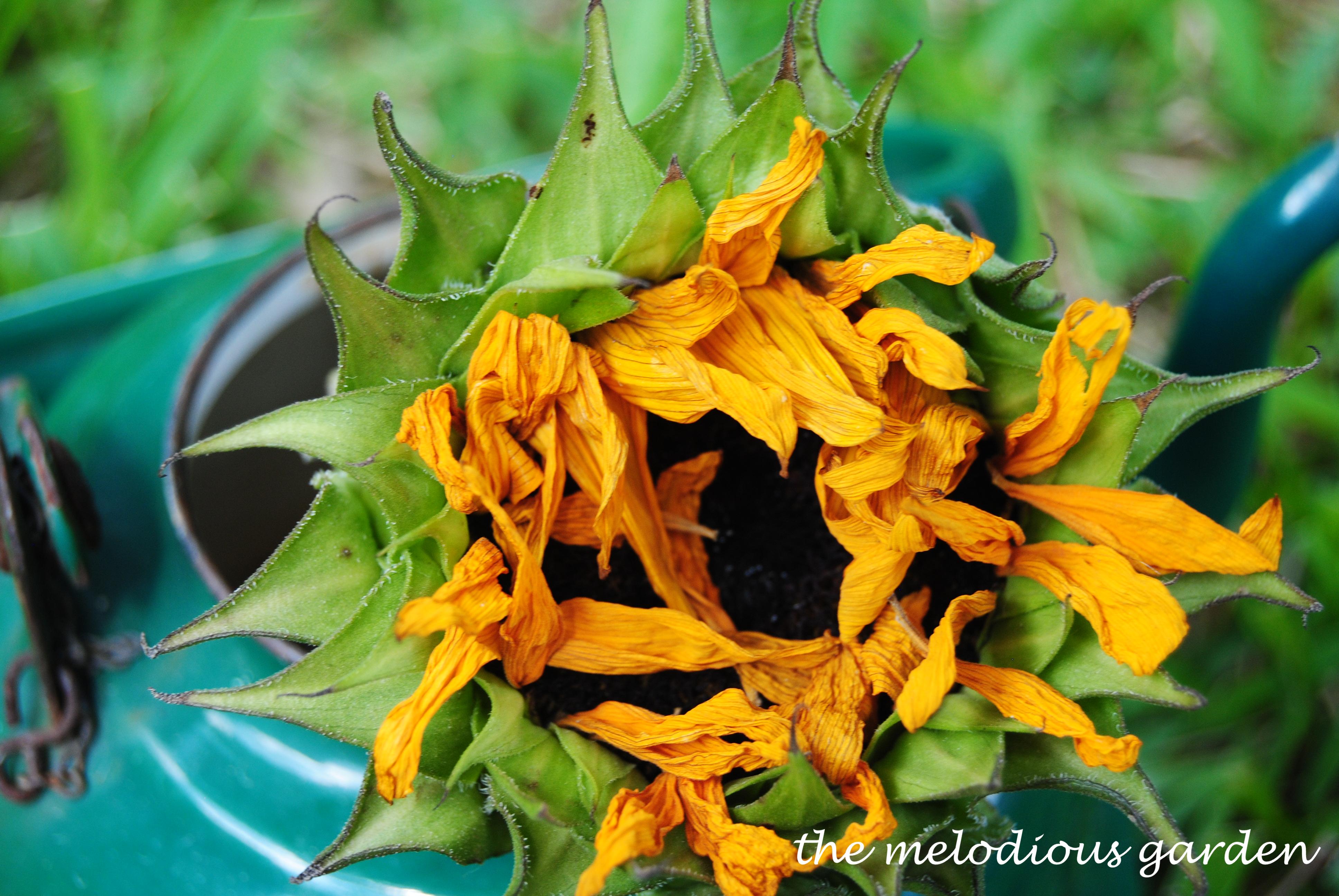 dried sunflower 1