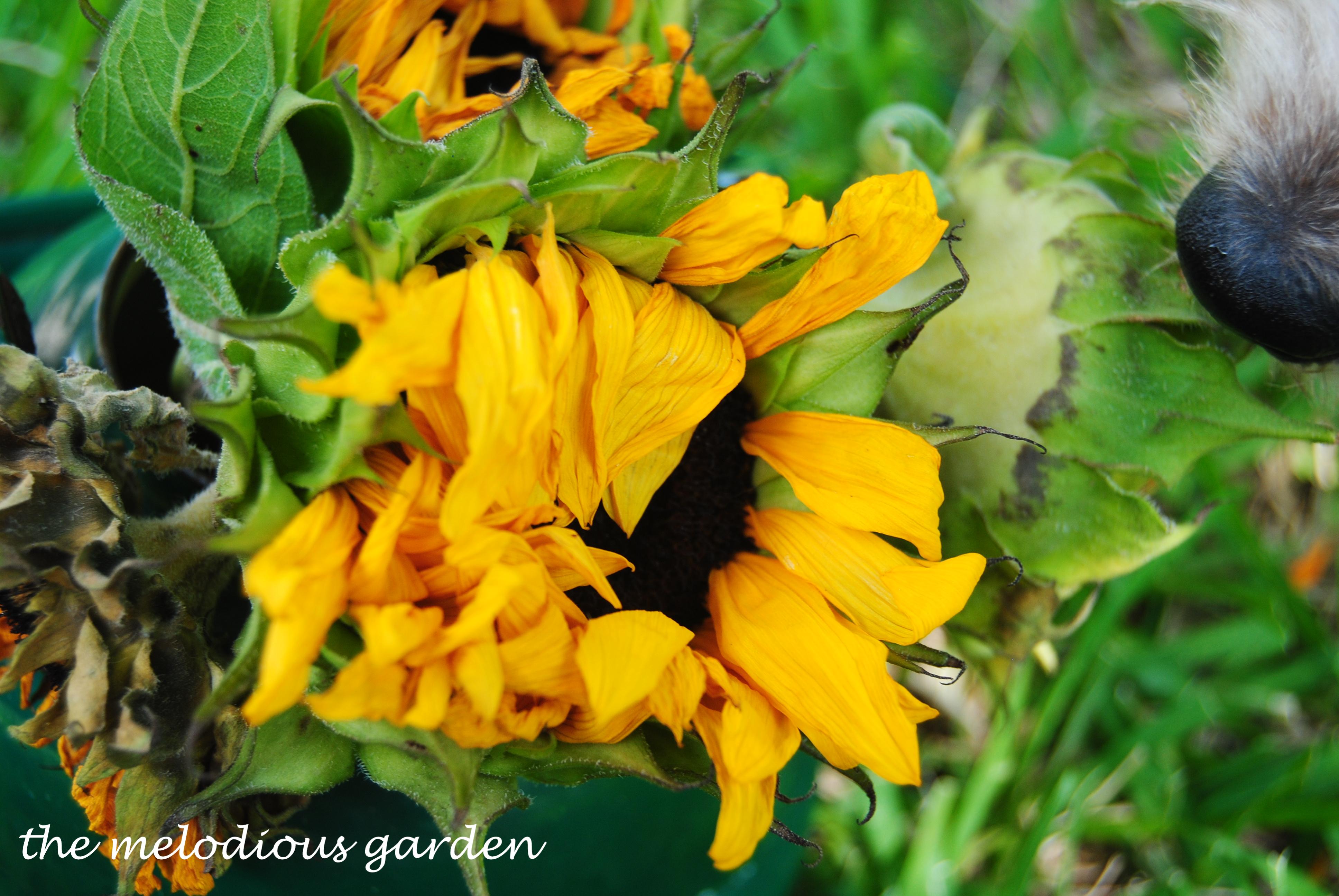 dried sunflower 2