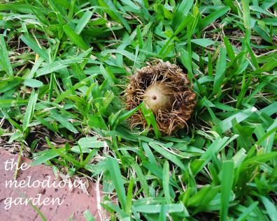 burr oak acorn
