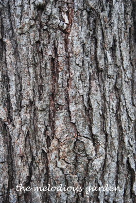 burr oak bark