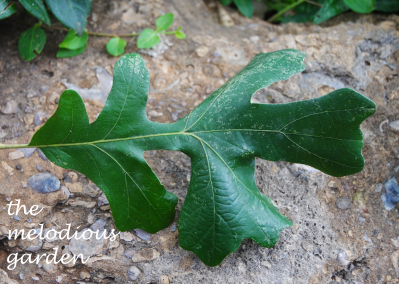 burr oak leaf