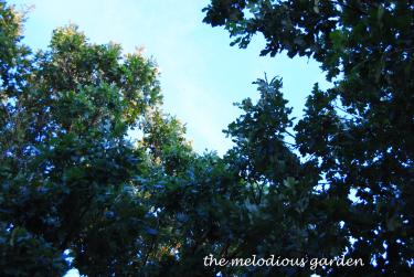 burr oak canopy