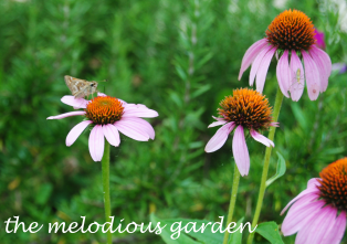 moth on coneflower 1
