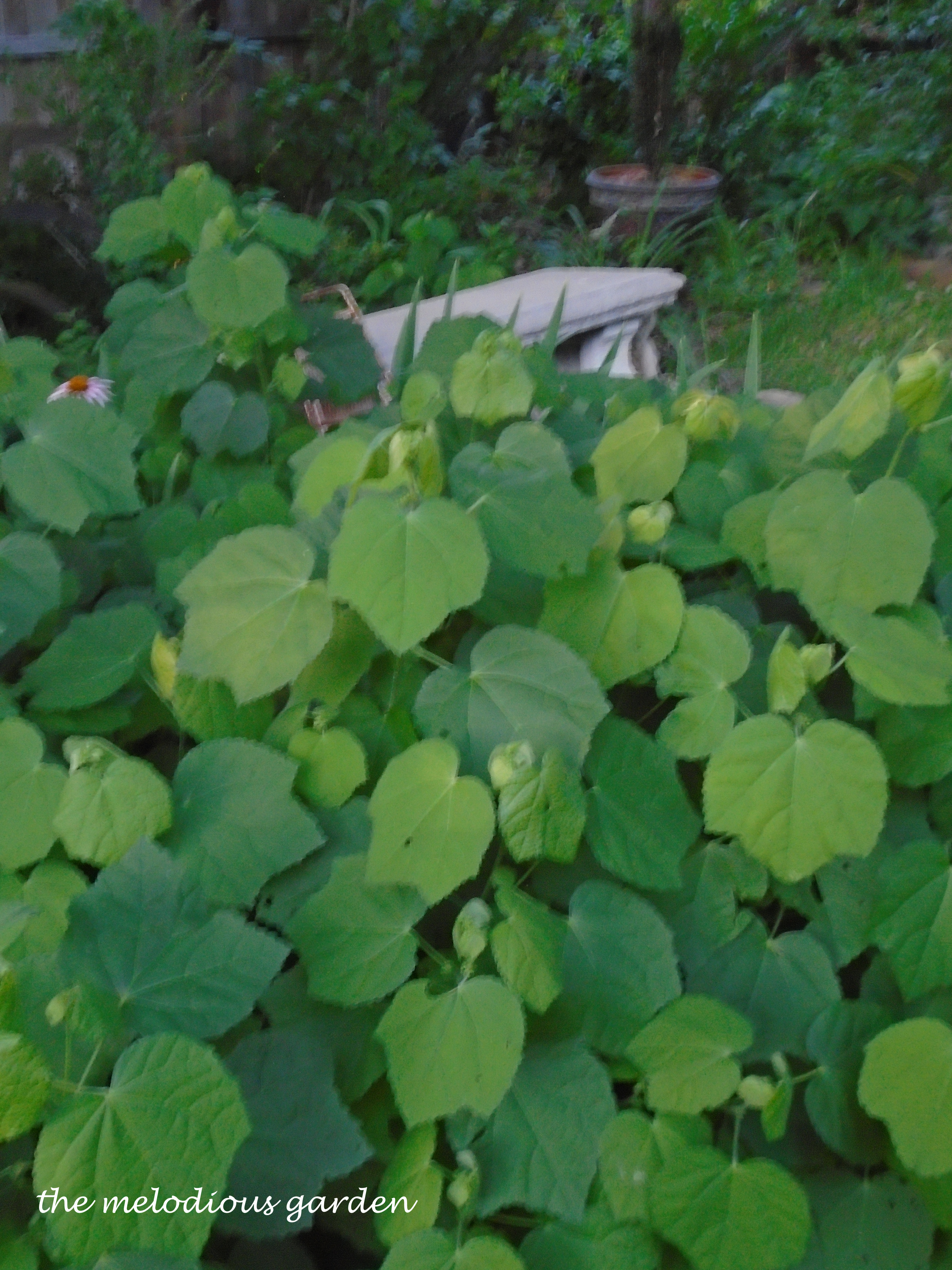 turks cap backyard