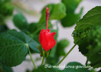 turks cap flower