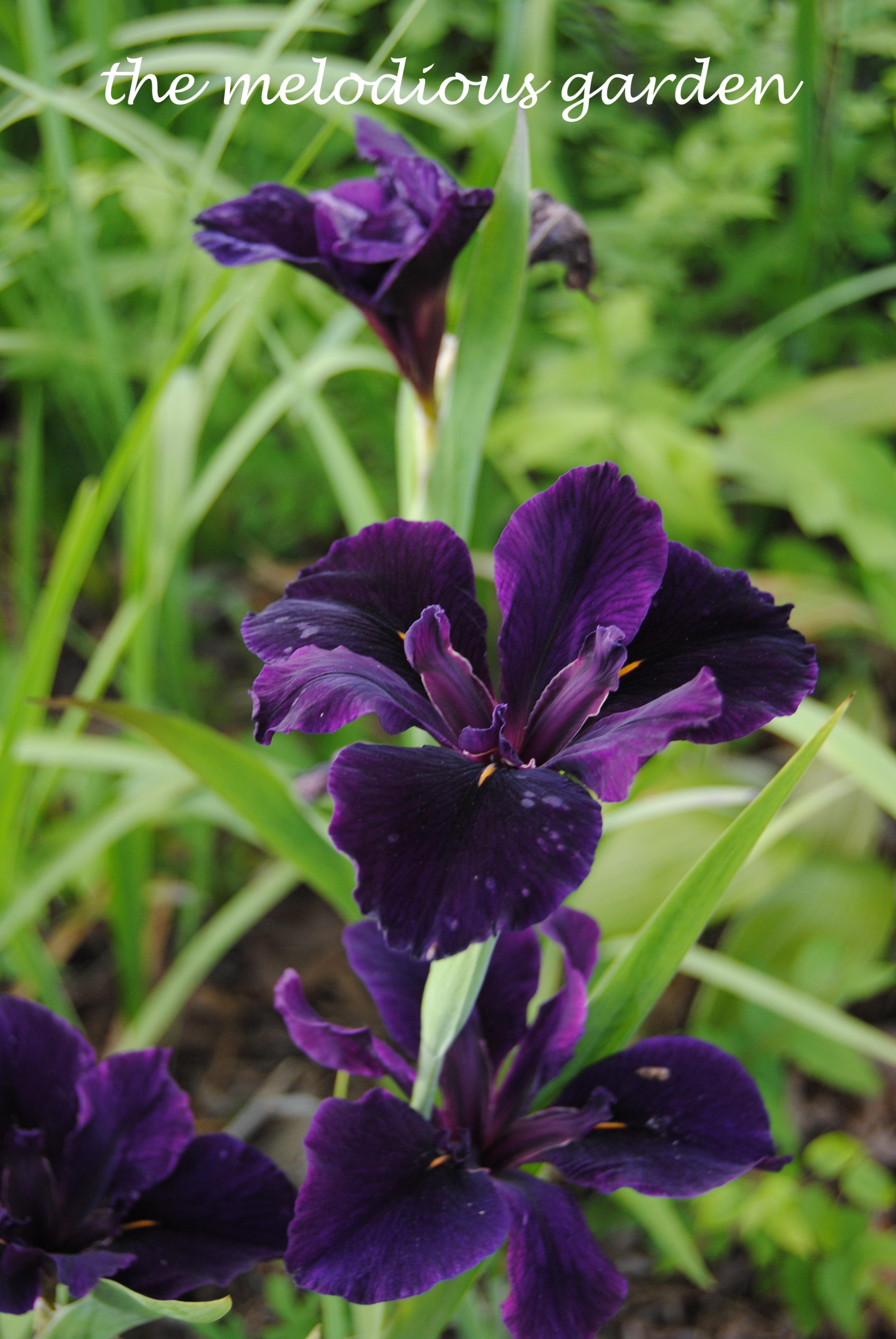 la iris3