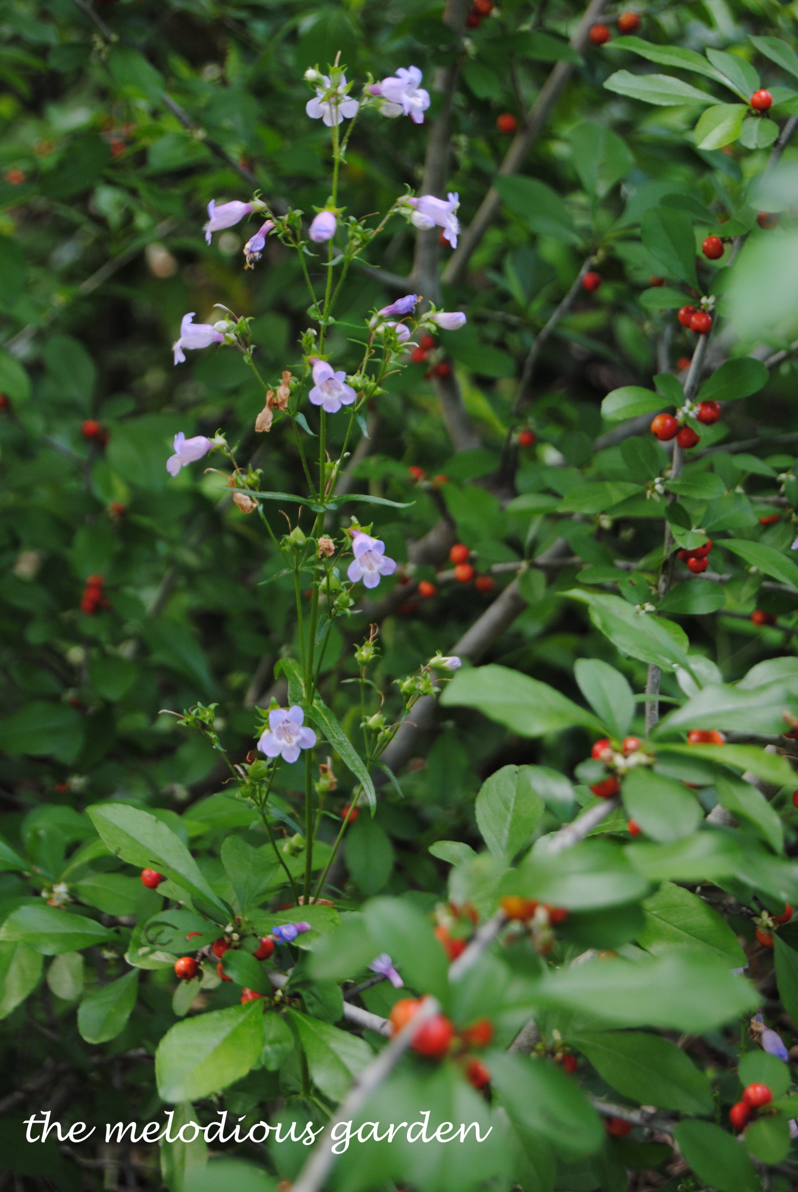 penstemon with holly