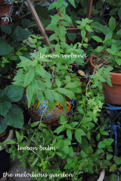 lemon verbena and balm