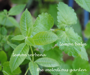 lemon verbena and balm2